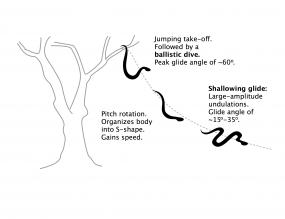 Sketch of the gliding behavior of a flying snake.